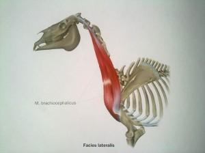 El cuello del caballo: músculos braquiocefálicos