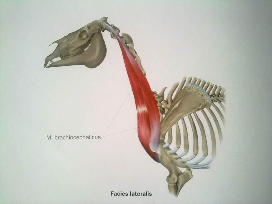 El cuello del caballo: músculos braquiocefálicos | Equidinamia